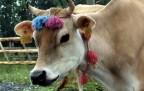 Karadeniz'in süslü inekleri