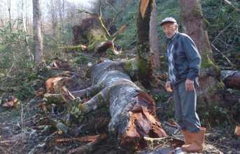 Anıt Gürgen ağacı, kasırgaya dayanamadı
