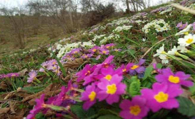 Arıların, nesline yasakladığı çiçek; Çuha