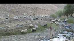 Zilli koyun sürüsü -2