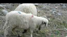 Zilli Koyun sürüsü