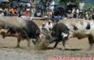Murgul'da Boğalar, Arenaya Çıktı