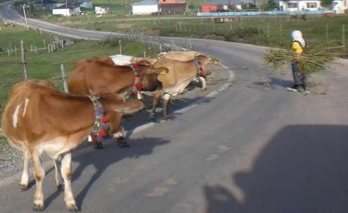 Bu sığırlar nereye bakıyor?