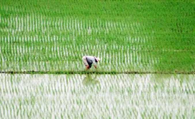 GDO'lu Pirinç, ABD ve Çin'den ...